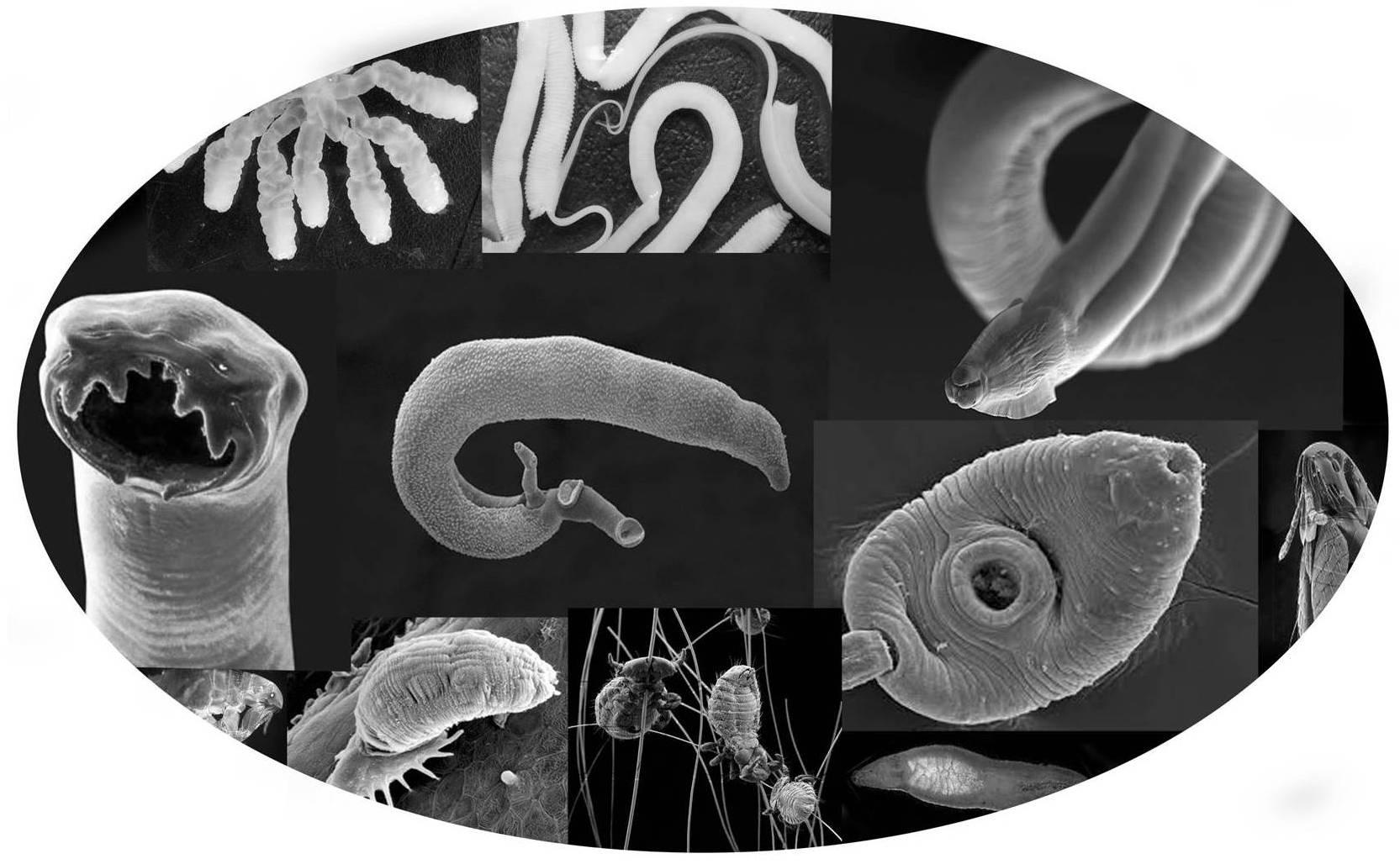 очистка организма от паразитов по методу семеновой